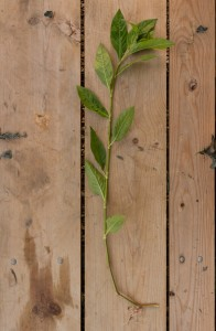 A perfect specimen - note how the stem is mostly straight and the leaves are green all the way to the bottom.